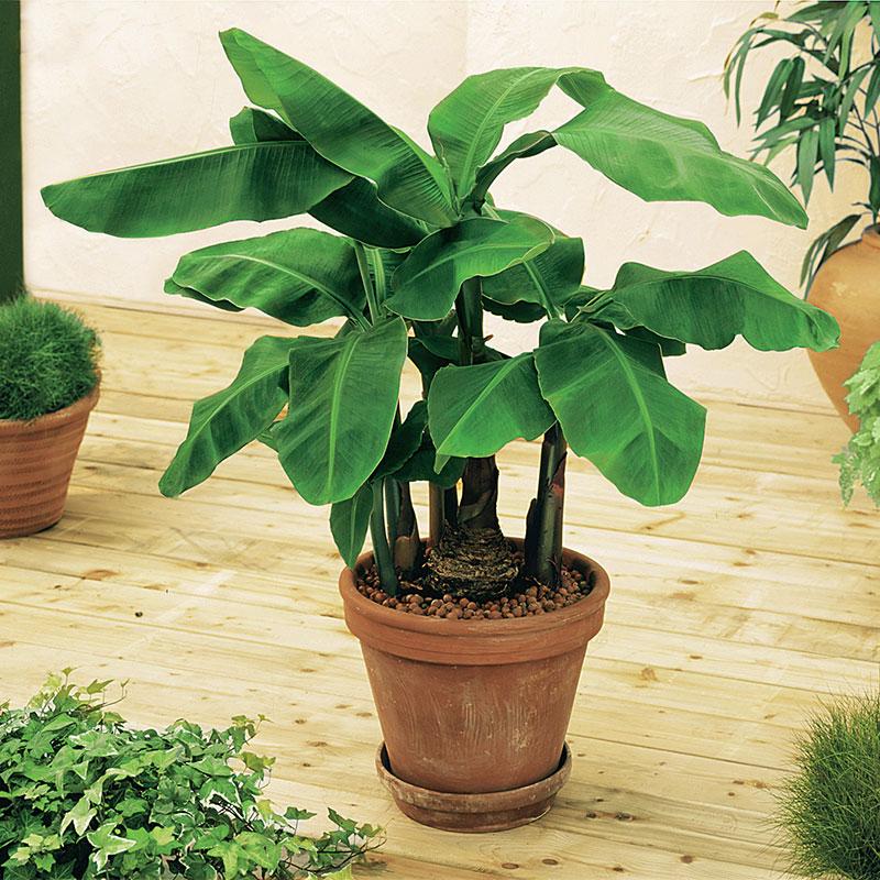 Dwarf Banana Tree Gardens Alive