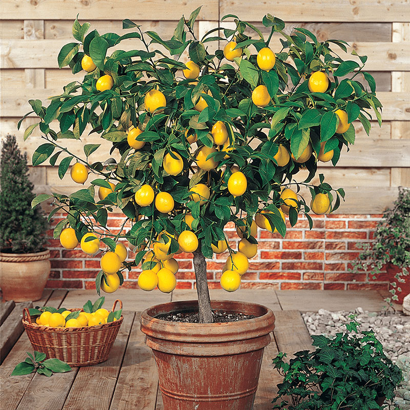 Dwarf Meyer Lemon Tree Gardens Alive