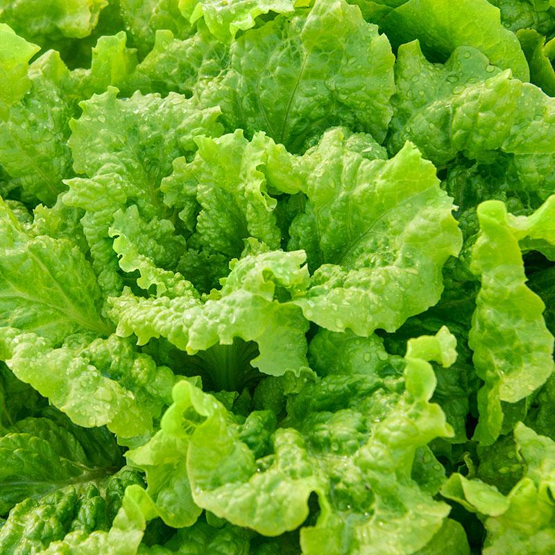 Black seeded Simson Lettuce 100 Seeds