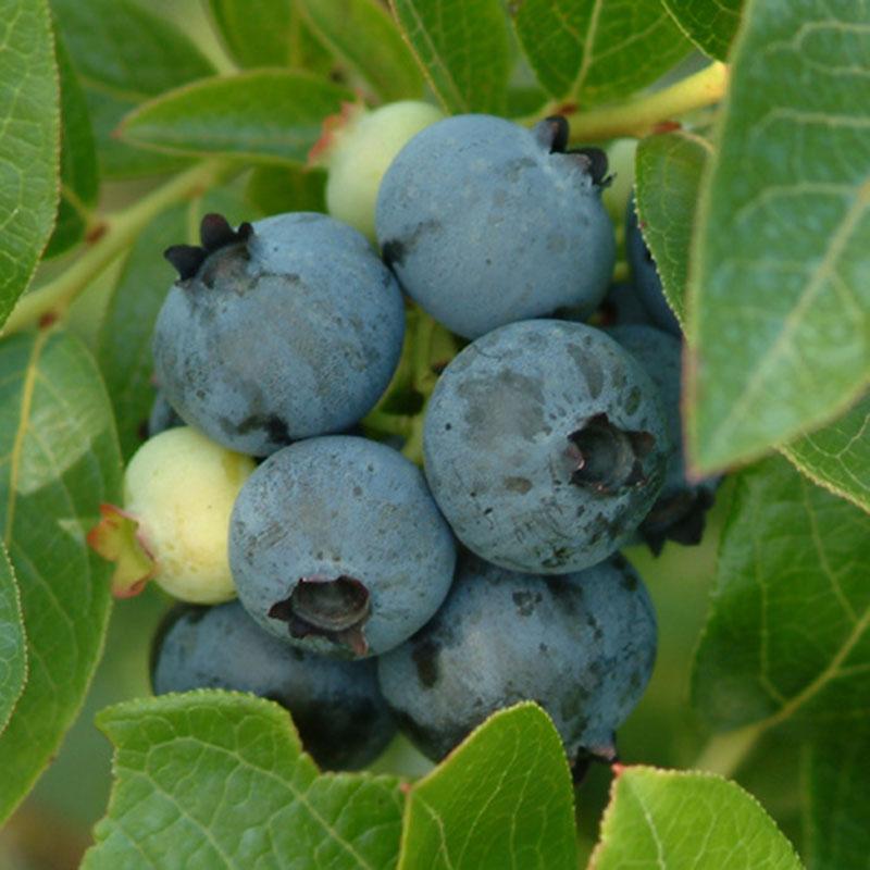 Semi Dwarf Northland Blueberry Gardens Alive