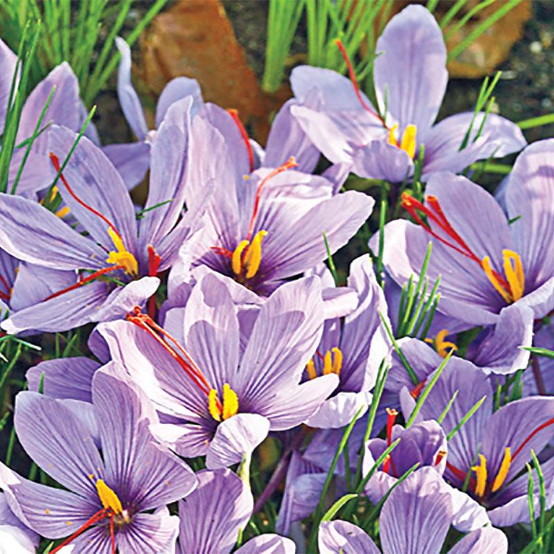 Saffron Fall Crocus Gardens Alive
