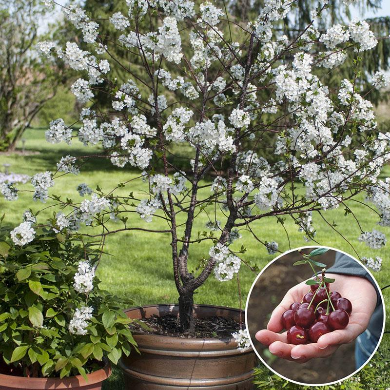 Cherry Romeo Dwarf Gardens Alive