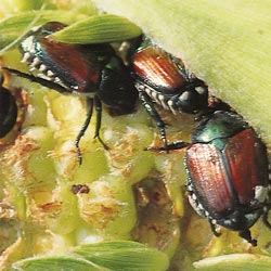 Japanese Beetle Solutions