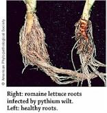 Pythium Wilt (Lettuce)