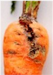 Carrot Weevil