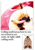 Codling Moth