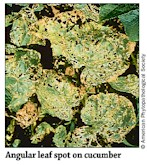 Angular Leaf Spot
