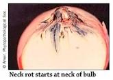 Neck Rot