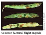 Common Bacterial Blight