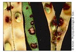 Anthracnose (beans)