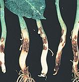 Rhizoctonia Root Rot