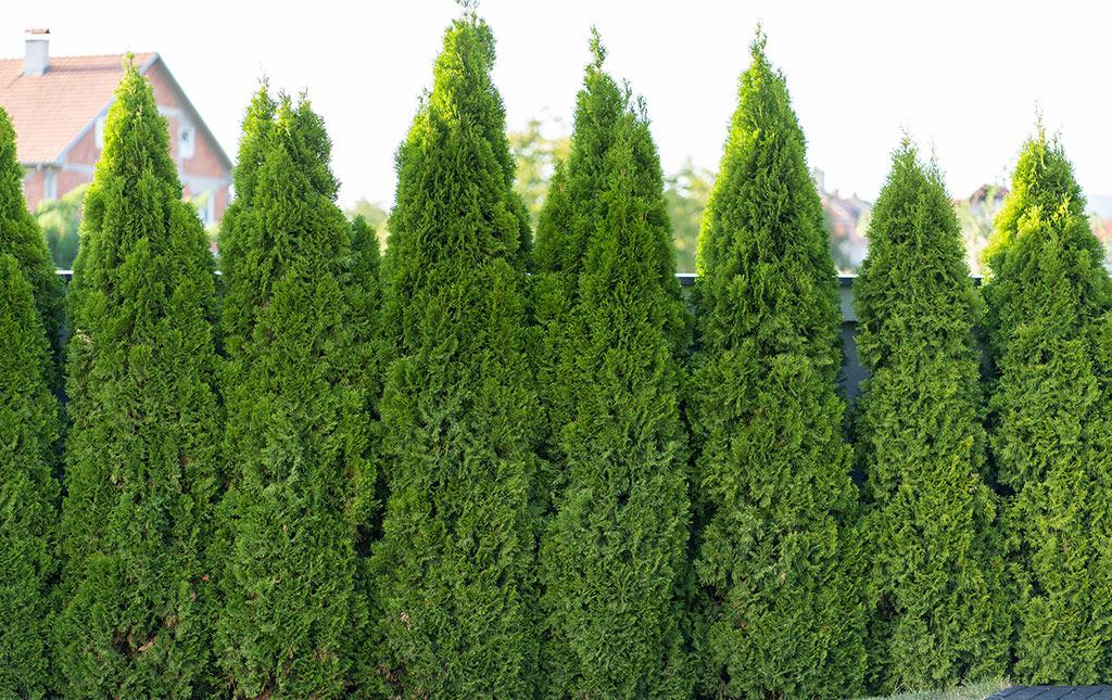 Hedges & Shrubs
