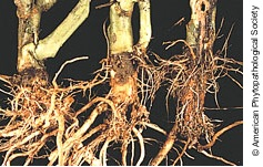 Fusarium Root & Crown Rot