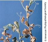 Fusarium Root Rot (Peas)