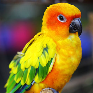 All About Conures