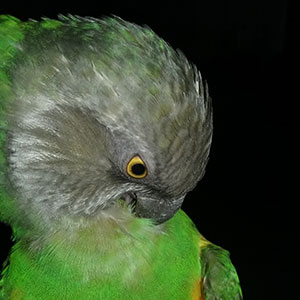 Love Your Bird: Jazzy the Snuggle Bird
