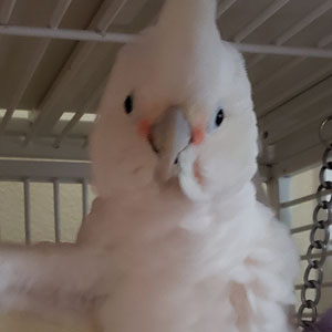 """Love Your Bird: Marley the """"Egg-tra"""" Special Cockatoo"""