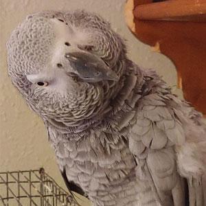Love Your Bird: Precious Pogo the African Grey