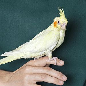 My First Bird: Should I Get a Pet Bird
