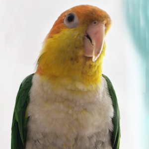 Love Your Bird: Woof the Caring Caique