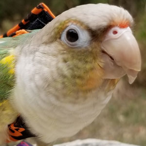 Love Your Bird: Loki the Big Bird in a Little Body
