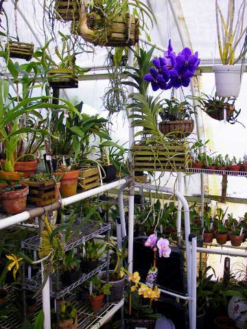 Orchids thrive in a Solexx Greenhouse.