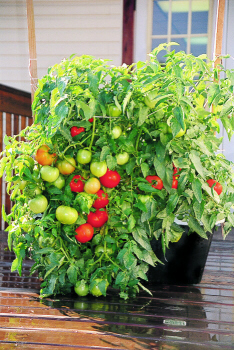 Growing tomato plants in the Eathbox