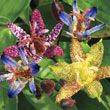 Deluxe Toad Lily Plant Mix