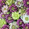 Double-Flowered Hellebores Plant