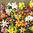 All Summer Lily Bulb Mix