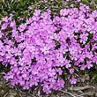 Pink Emerald Creeping Phlox Plant