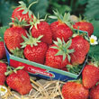 Fort Laramie Everbearing Strawberry Plant