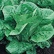 Romaine Head Lettuce Seed