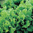 Black-Seeded Simpson Leaf Lettuce Seed