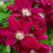 Rebecca™ Clematis Plant