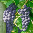 Everest Seedless™ Grape Vine