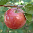 McIntosh Double Red Apple Tree