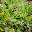 Bronze Beauty Leaf Lettuce