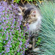 Purrsian Blue Catmint