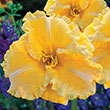 Majestic Move Reblooming Daylily