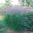 Rose Fountain Grass Plant