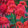 Mandarin Double Scoop Coneflower
