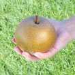 Olympic Giant Asian Pear Tree