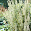 Diamond Grass Plant