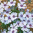 North Hills Creeping Phlox