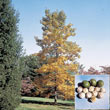 Shellbark Hickory Tree