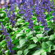 Big Blue Salvia
