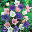 Mixed Balloon Flower