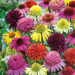 Hybrid Coneflower Mix