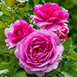 Perfume Factory™ Hybrid Tea Rose